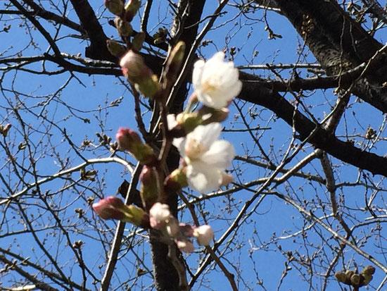 この標本木に5,6輪以上咲いていました♪