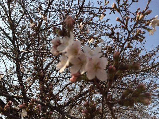 殆ど蕾。咲いているところ