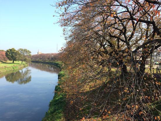 文教大学前の橋から。桜の季節には大賑わい.