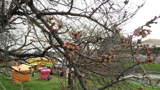 神明橋 北越谷の標本木(笑)まだ蕾が多く、まばらな咲き方。屋台も増えていました。