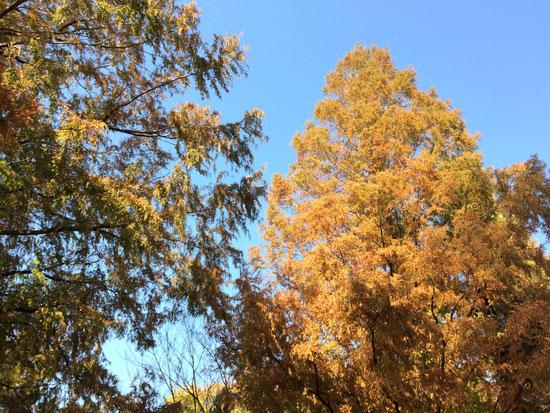 やはりイチョウは見事な紅葉ですね。北越谷はイチョウが少ない?