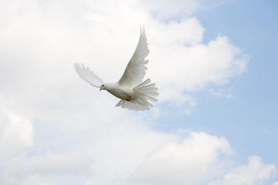 Taube als Trauermotiv für Trauerkarte