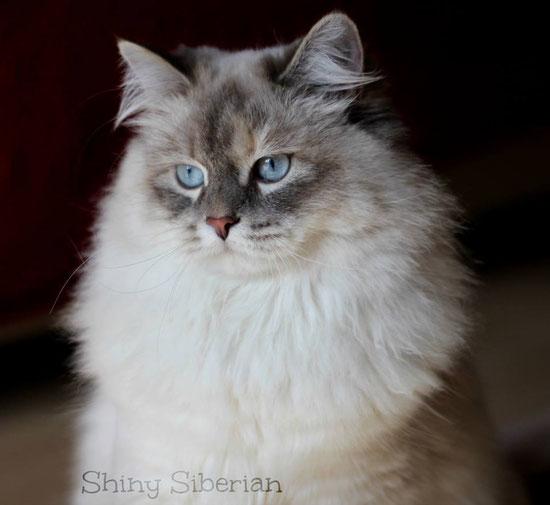 Allevamento Gatto Siberiano Shiny Siberian Allevamento Gatto Siberiano
