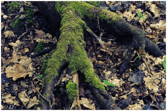 Eine mit Moos bedeckte Wurzel
