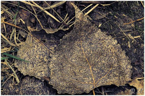 Herabgefallene Pappelblätter