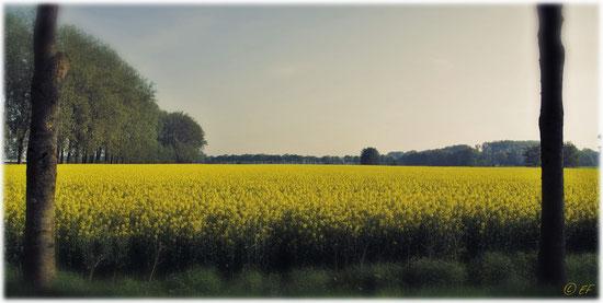 """""""Gelbe Weite"""": Ein Rapsfeld in voller Blüte"""