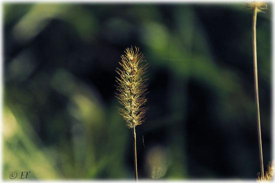 Gräserspitzen