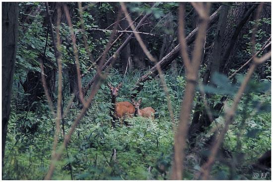 Die Ricke & ihr Kitz mitten im Wald
