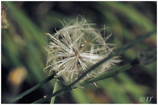 Die Kugel (geformt aus den Samen der Distelblüten)