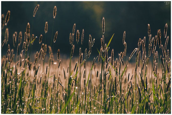 Der Wiesen-Fuchsschwanz