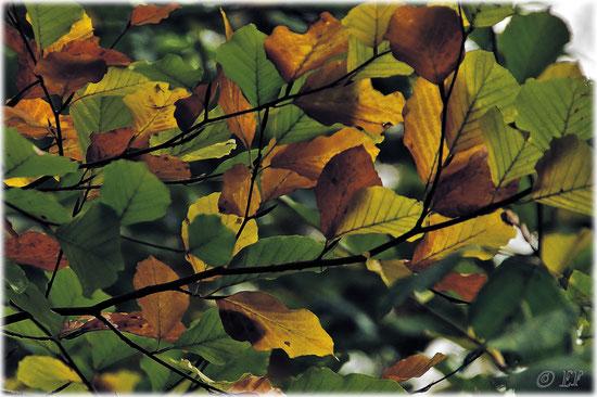 Das Herbstgewand der Buchenblätter