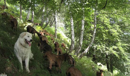Le patou de Rouze garde les chèvres
