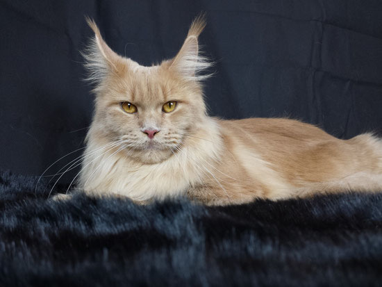 allevamento maine coon dolceblu lombardia italy