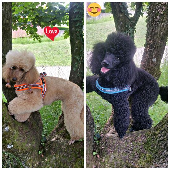 Kleinpudel Holy und Sylou bei der Arbeit; auf Bäume klettern