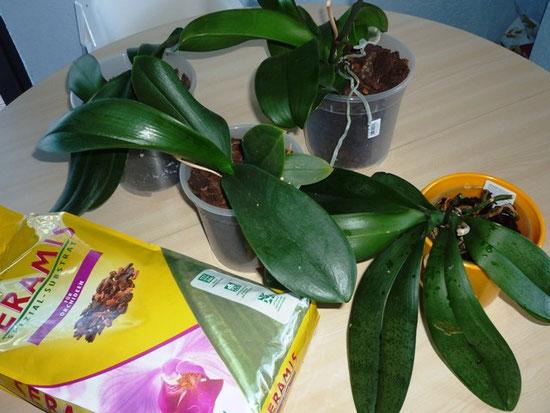seramis speziel substrat f r orchideen teil ii nadines. Black Bedroom Furniture Sets. Home Design Ideas