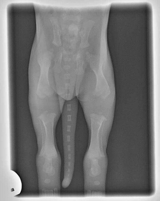Ossatura di cucciolo a 2 mesi, si può notare quanto mancano alla calcificazione le ossa per avere un cane adulto e correttamente formato.