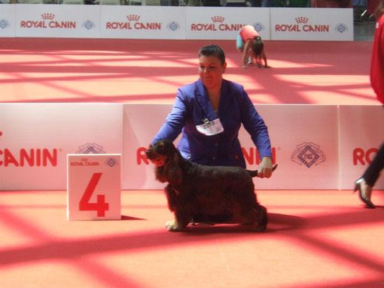 Giuggiola Dellyllè 4° Eccellente alla Mondiale di Milano WDS del 11-6-2015 grazie al giudice Guy Spagnolo