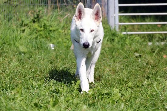 Jack, schweizer Schäferhund