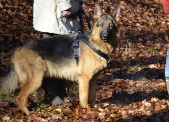 Zaro, Schäferhund