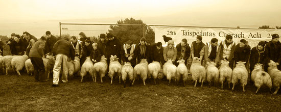 25th Achill sheepshow
