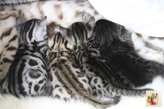Der A-Wurf der Wildfruits-Bengalkatzen