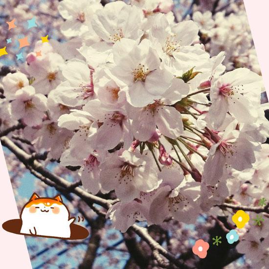 今年も近所の春の桜を見せてらえました。来年も楽しみにしています。
