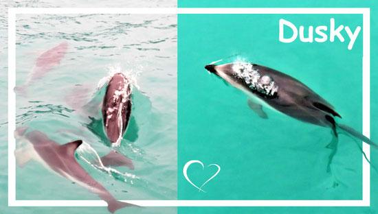 delfinschwimmen_neuseeland_weltforscher