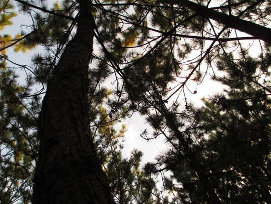 弊社松林を見上げて