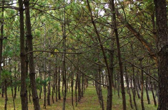 弊社の松林