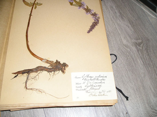 Herbariumetiket Osten Wallin