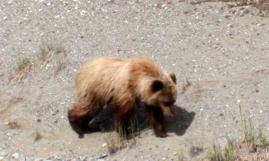 Jeune Grizzly