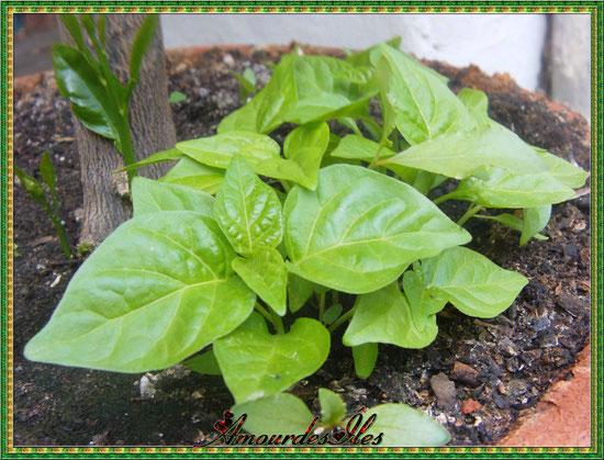 Petits plants de Piments Martin, très fort et très piquant!