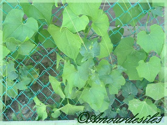 Liannes des chouchoux plantés fin mars de cette année 2009. Photographie prise ensuite avant la fin du mois de juin...