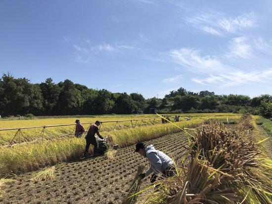刈る人、はざ棒を組み立てる人、稲の束を運ぶ人、はざ掛けする人。長年のチームで黙々と役割分担がなされます。