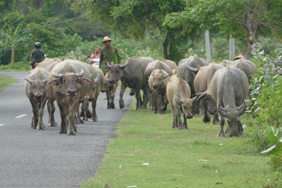 Wasserbüffel auf Lomboks Strassen