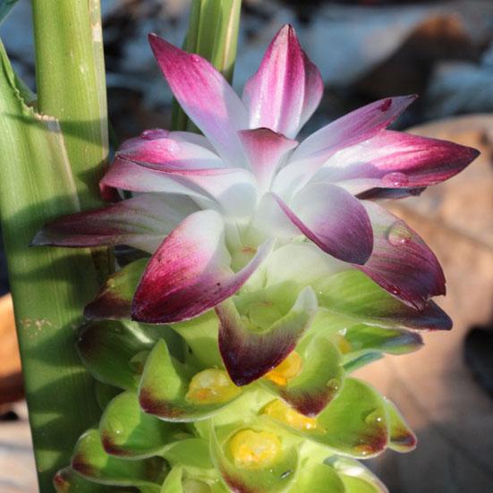 Curcuma longa - Photo Simon Lemesle - Astérale - On peut entrapercevoir les petites fleurs jaunes, insérées au coeur des grosses brachtées