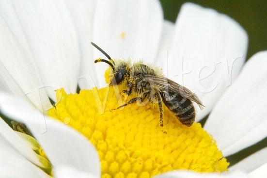 Bild: Seidenbiene, Colletes spec., Männchen auf der Wiesen-Margerite