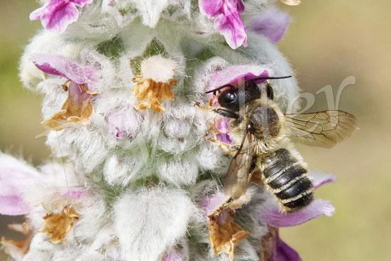 09.06.2020 : Blattschneiderbiene am Woll-Ziest