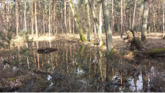 Eine Waldsenke in der Nähe eines Hügelgrabes füllt sich mit Wasser