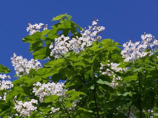 Trompetenbaum während der Blütezeit