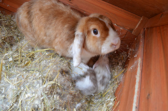 Kaninchen selber züchten, Kaninchen Babys