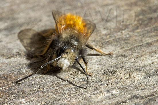 """Frisch geschlüpftes Mauerbienenmännchen mit dem typischen weißen """"Bart"""" [zum Vergrößern bitte anklicken]"""