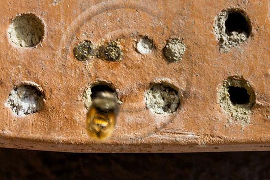 Erstaunlicherweise dauert der erste Erkundungsflug nur wenige Sekunden bevor die Biene sich auf die Suche nach ihrer ersten Nektarquelle macht. Ich könnte minutenlang kreisen und würde doch nicht zurückfinden :-)