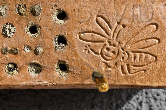 Frisch geschlüpfte Mauerbiene bei ihrem ersten Erkundungsflug. Links unter erscheint schon das nächste Exemplar  [zum Vergrößern bitte anklicken]