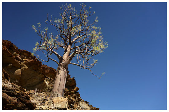Moringa de Namibie