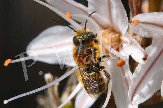 März 2016 : Wildbiene auf Mallorca