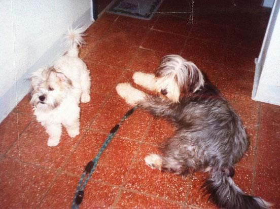 Francis mit Ihrem Shi Tsu Schulfreund *Rocky*  (beide im Alter vom ca. 1 Jahr)