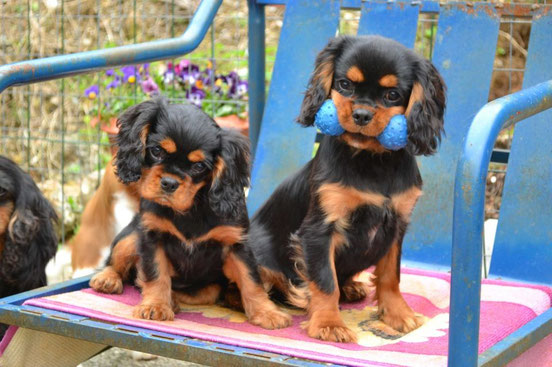 Dances dei Piccoli Demoni e Hott Pepper of Woodville,cuccioli black and tan