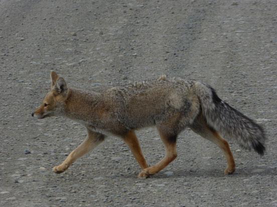 Fuchs, Wildlife Torres del Paine, Tiere Torres del Paine
