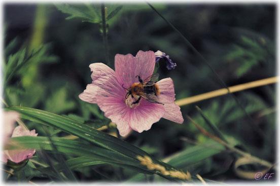 Besuch einer Hummel einer Malvenblüte